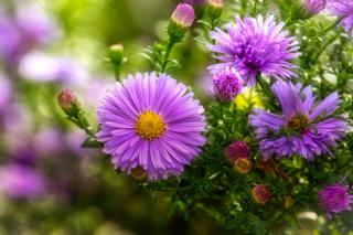 This pale violet aster stands out against a blurred background.