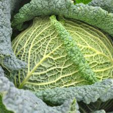 White cabbage, Kale, and Savoy cabbage