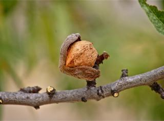 Dry almond with open brown husk on branch ready for harvest.