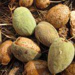 Fresh young almonds harvested with their green husk.