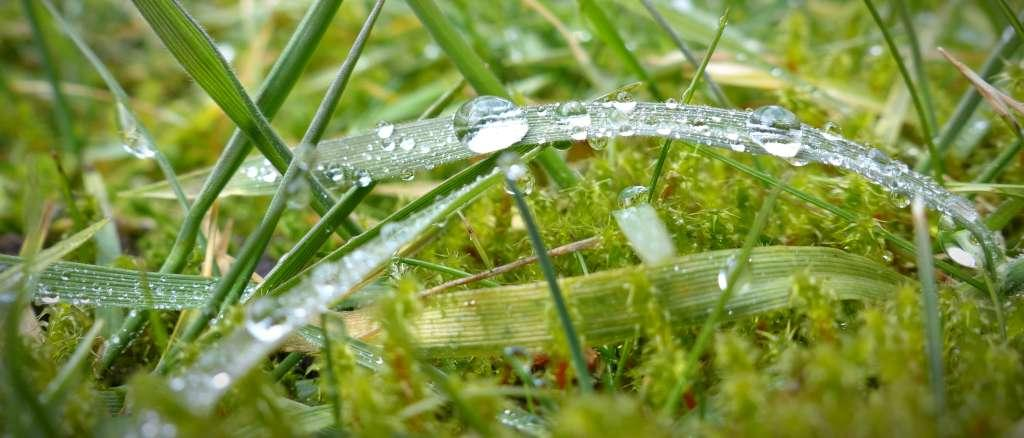 Dewdrops on a blade of grass in a moss-infested lawn.