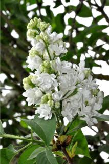 Pruning your lilac should only take place after the blooming, as for this white-flowered specimen.