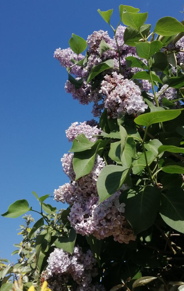 Lilac shrub in full bloom.