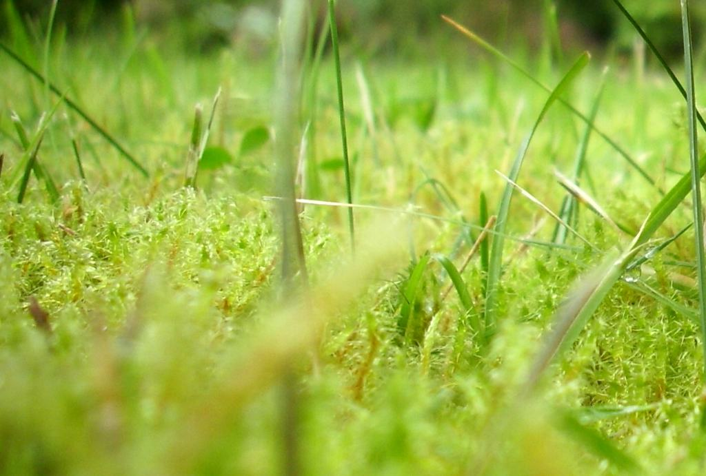 Lawn overrun by moss