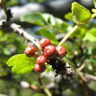 Sichuan pepper berry cluster on a thorny branch.