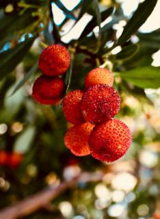 Branches of the strawberry tree loaded with fruit.