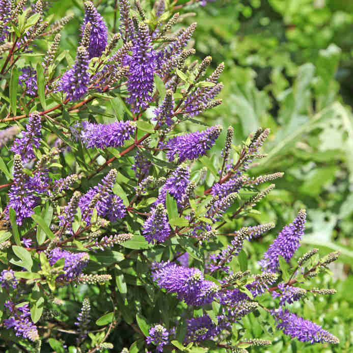 Hebe, shrubby veronica, is a beautiful flower shrub