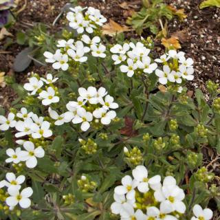 Young arabis flower shrub with a dozen clusters of white flowers against healthy soil.