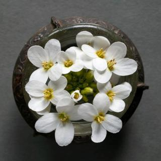 A cluster of arabis alpina flowers resting in a maté pot that doubles as a tiny vase.