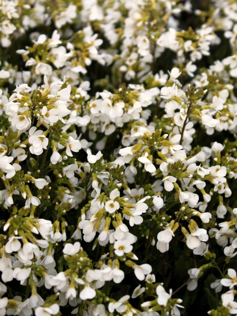 An arabis alpina shrub in full bloom covered in small white flowers.