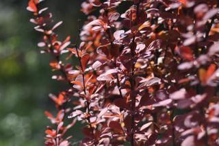 Hedge made from deep red berberis varieties.