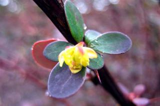 Yellow Berberis thunbergii flower with few leaves and thorns.