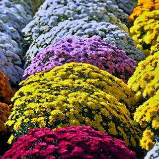 Rows of blooming chrysanthemum flowers