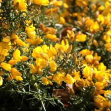 Gorse, superb flower shrub