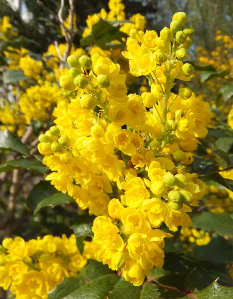 Bright yellow blooms of the mahonia flower is magnificent.