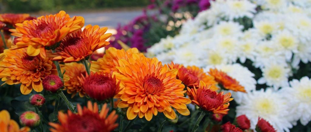 Blood-orange and white-colored chrysanthemum flowers