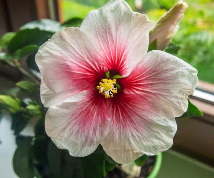 China Roses, hibiscus rosa sinensis