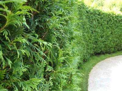 thuja planting pruning and advice on caring for it