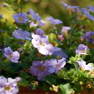 "Wonderful blooming for bacopa even in part shade for this lavender ""Gulliver Lilac"" variety."