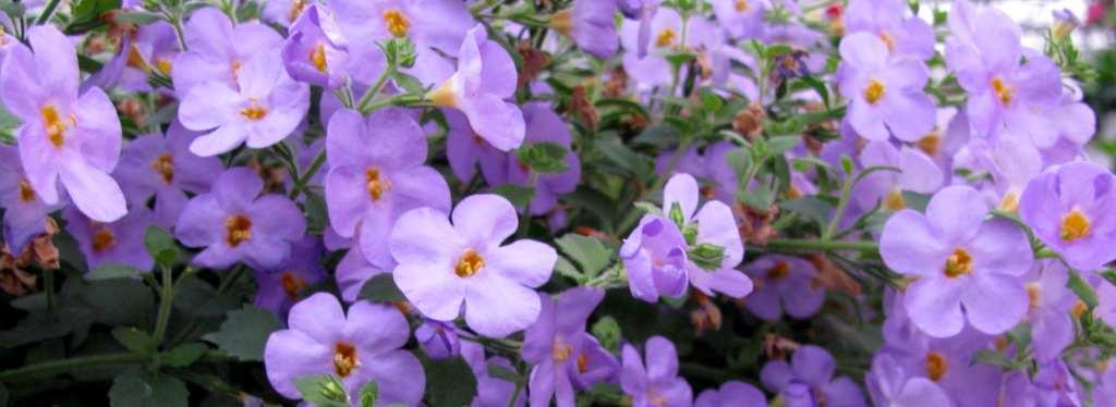 Bacopa Calypso series are beautiful.