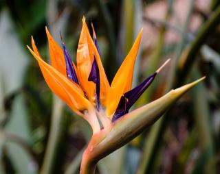 Open yellow and deep violet bird-of-paradise flower against a blurry green background.