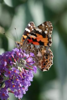 A butterfly basks in the sun on a violet buddleia bush flower just budding open.
