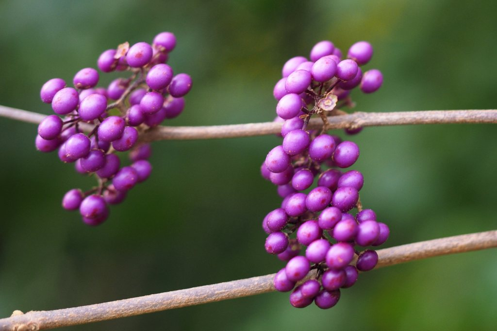 Fruits of the Callicarpa shrub on two leafless branches.