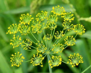 Young yellow dill blossoms.