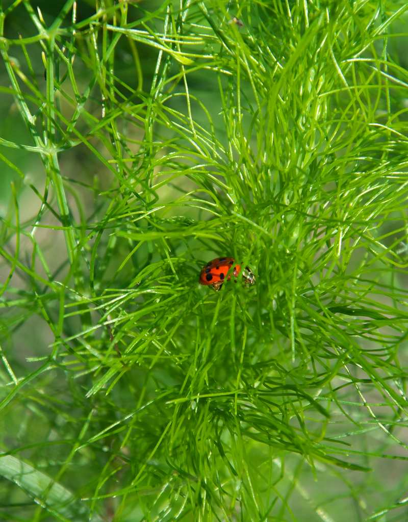 Dill, from growing to harvest
