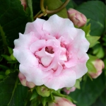 Pink gloxinia flower with buds and deep green leaves as a backdrop.