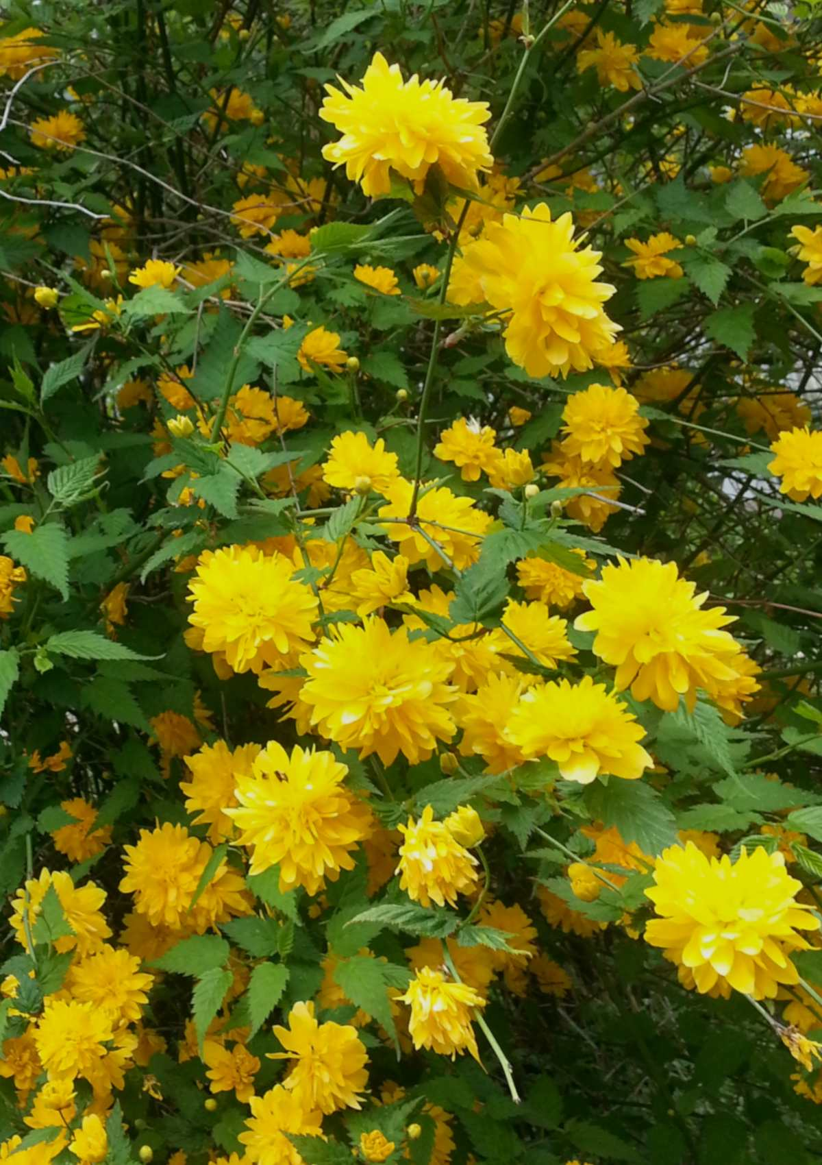Full shrub with yellow kerria blooms.