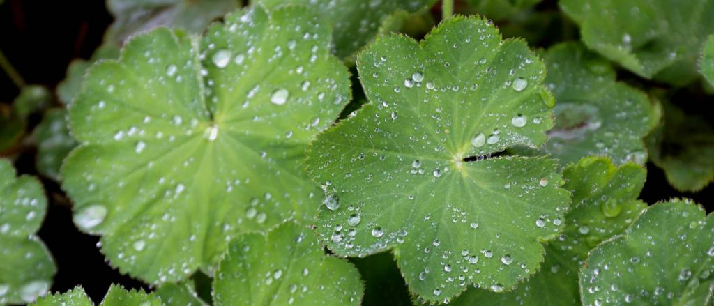 Alchemilla leaves with drops