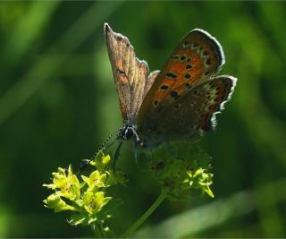 Lady's mantle flower with feeding butterfly