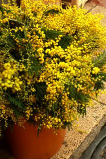 Mimosa flowers and branches in a pot.