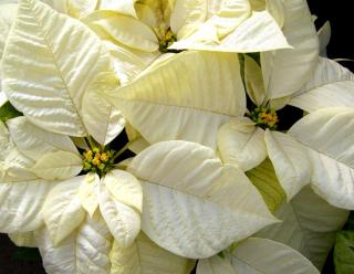 White poinsettia - only these are normal, not sick!