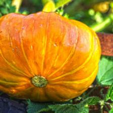 Squash and gourd, how to grow them