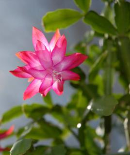 Pink schlumbergera flower with a background of green leaves.