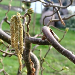 The twisted trunk of the corylus avellana contorta.