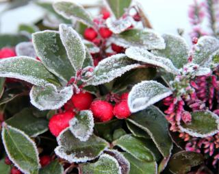 Great plants for a winter balcony are wintergreen, skimmia and heather, all shown.