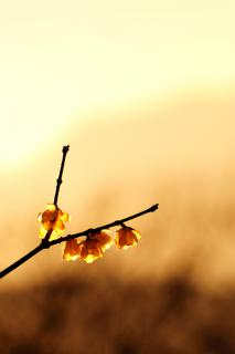 A y-shaped wintersweet branch with four open golden yellow flowers against a beautiful hazy sunset.