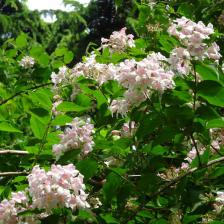 Glossy Abelia, a cute little flower shrub