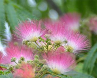 Pink and white albizia flowers close-up.