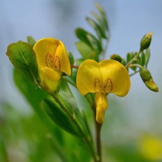 Yellow bladder-senna flowers