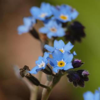 Cluster of forget-me-not flowers with a few flowers to deadhead.