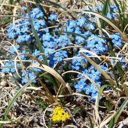 a bunch of forget-me-nots growing in the field