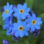 Deep blue forget-me-not flowers