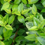 Variegated glossy abelia leaves with light green rims and dark green centers.