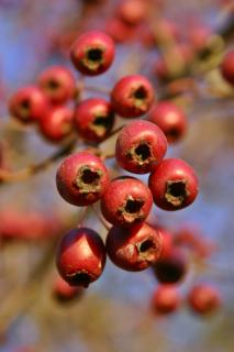 Close-up of hawthorn berries maturing on the branch.