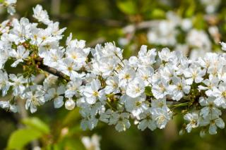 Hawthorn flowers, white and plentiful on a branch, just in time for harvest.
