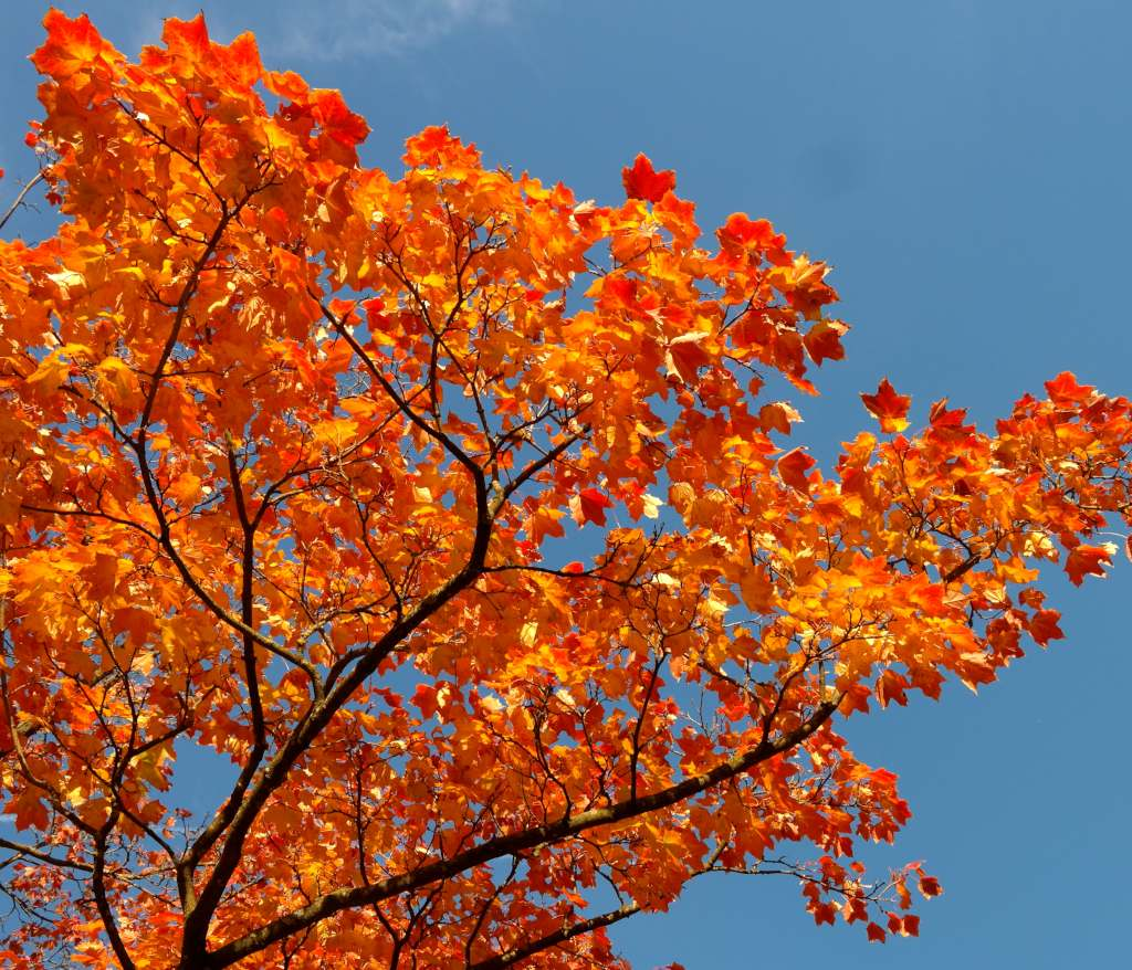 Red-orange leaves of the maple tree against a blue sky.